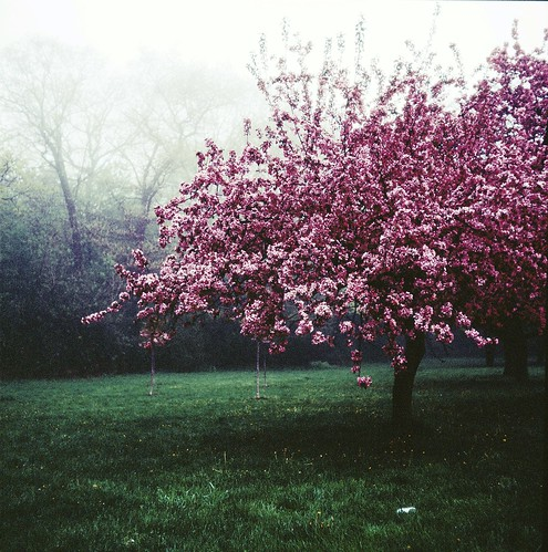 High Park cherry blossoms   by Canned Muffins