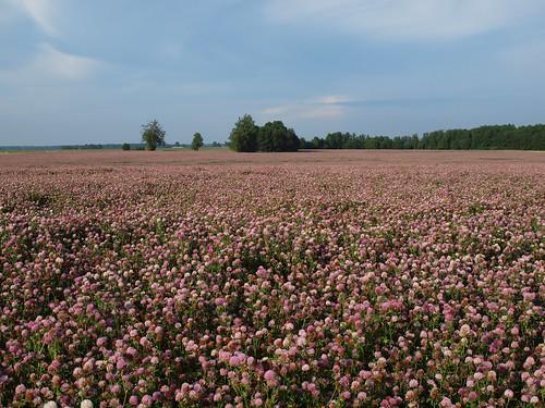 pink summer colour nature field landscape scenery europe estonia baltic clover baltics estland viro trifolium põld estonie roosa maastik эстония jõgevamaa ristik εσθονία