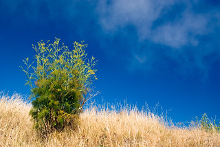 Fennel at McLaren Park  (7 July 11) | by ejbSF