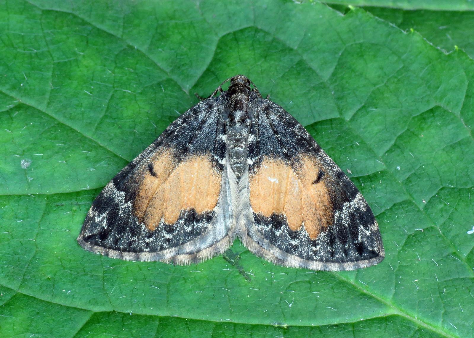1764 Common Marbled Carpet - Chloroclysta truncata