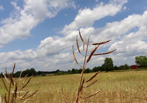 field georgia harvest rape agriculture madisoncounty canola rapeseed brassicaceae brassicanapus