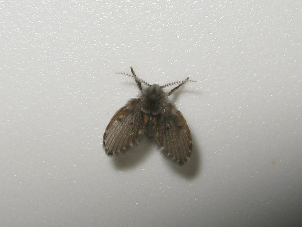 mosca de drenaje