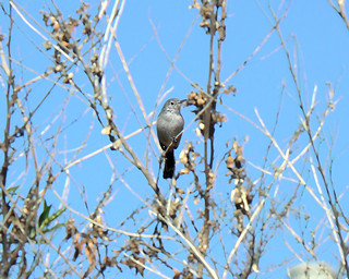 Coastal California Gnatcatcher | by USFWS Pacific Southwest Region
