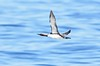 Pacific Loon in flight by www.lirongertsman.com