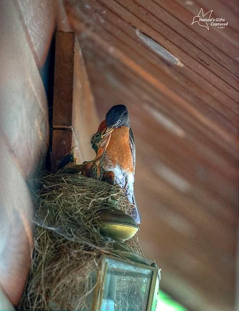 Robin - Feeding Time