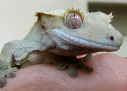 Crested Gecko | by Ozzy Delaney