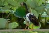 Magpie Goose  Anseranas semipalmata - Townsville Botanic Gardens by Andy Burton Oz