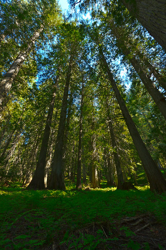 trees idaho hdr stjoenationalforest hobocedargrove idahopanhandlenationalforests