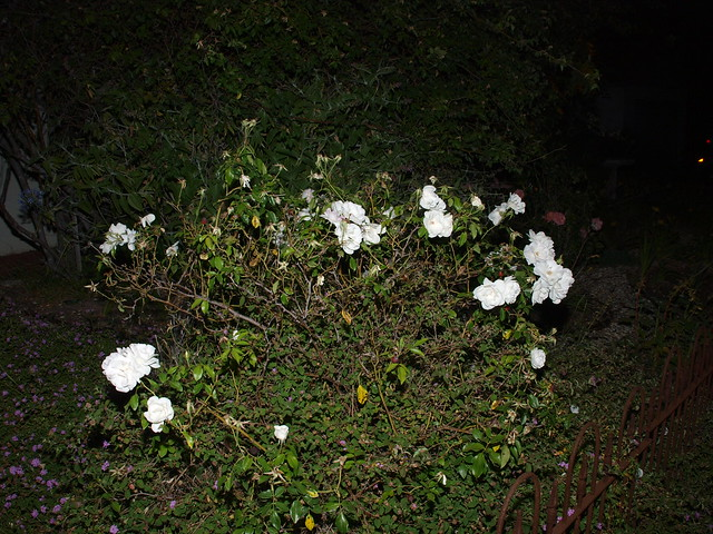 M5188094 iceberg rose bush