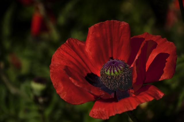 Poppy - Red1