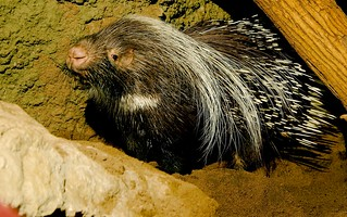 Crested Porcupine (Hystrix cristata)_3 | by guppiecat