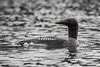 Black-throated Loon by tmy81