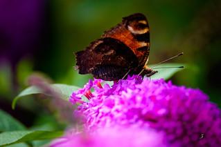 The European Peacock Butterfly | by www.ziggywellens.com