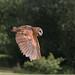 2015jul- Owl in Flight by ChrisBakerCV12