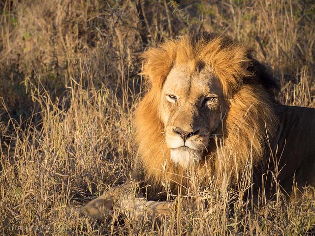 World Lion Day – 10 August 2015