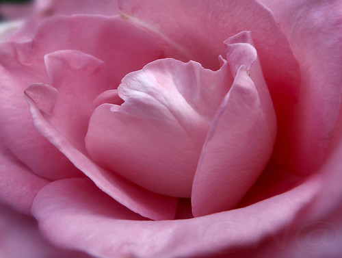 ▲ ► •☛heart of rose☚• ◄▲ | by MissAna(Thank you kindly for over 350K View's!)