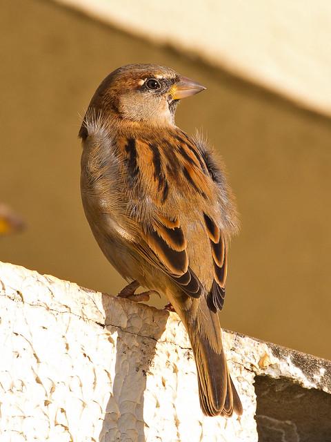 House Sparrow (Passer domesticus) - juvenile male