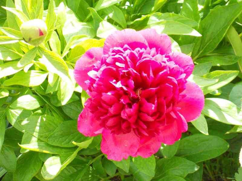 Paeonia lactiflora 1