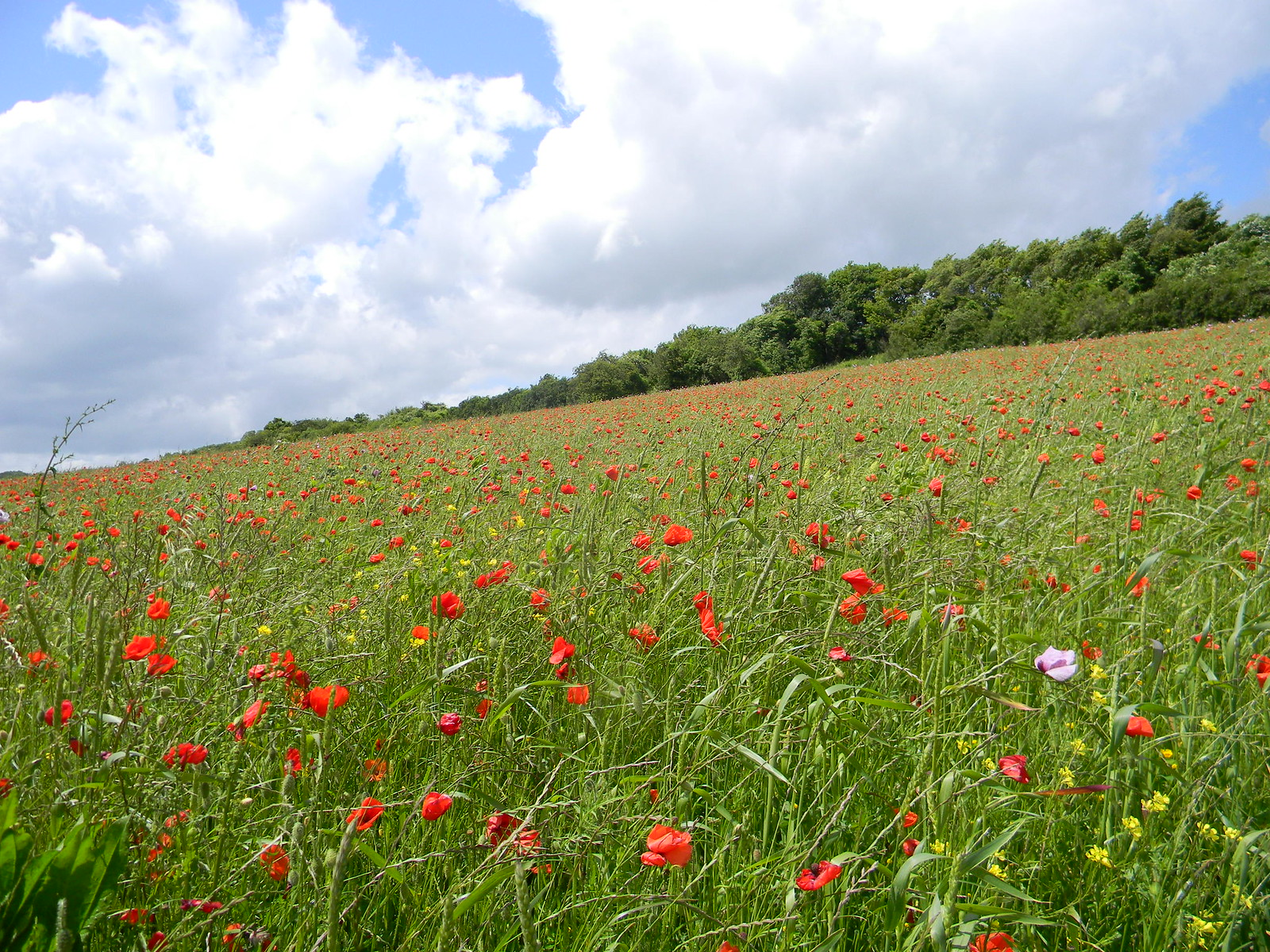 Poppies On the slope up from Luddesdown. Cuxton to Sole Street