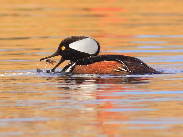 Story 3 #1 - Harle couronné / Hooded merganser - male