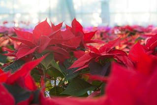 Christmas Poinsettia, Staplehurst | by flatworldsedge