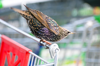 Starling (Sturnus vulgaris) About to Take Off From a Shopping Trolley in Asda Car Park, Llanelli, South Wales | by Steve Greaves