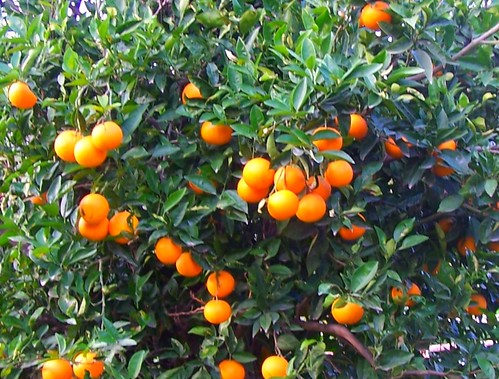 juicy tangerines and old trees