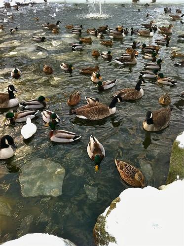 Birds on a frozen pond | by ramtops