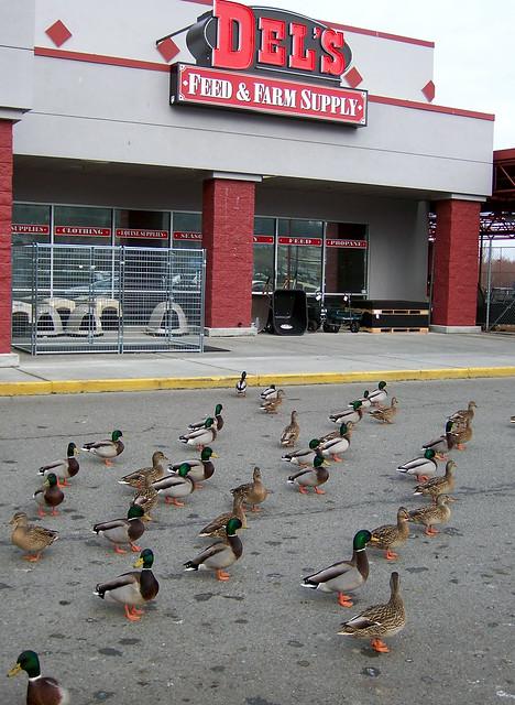 Ducks at Del's1