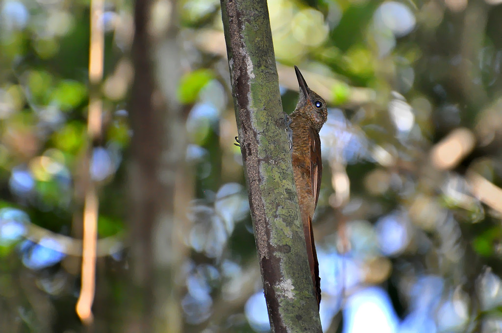 Arapaçu-barrado-do-napo (Dendrocolaptes radiolatus)