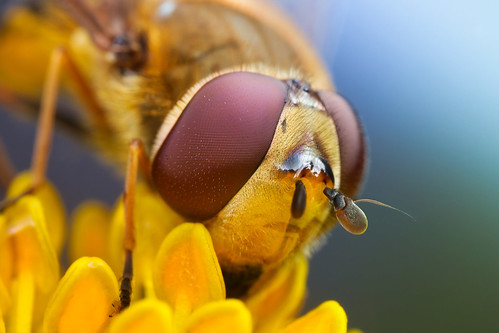 Hoverfly series + some neat gear | by johnhallmen