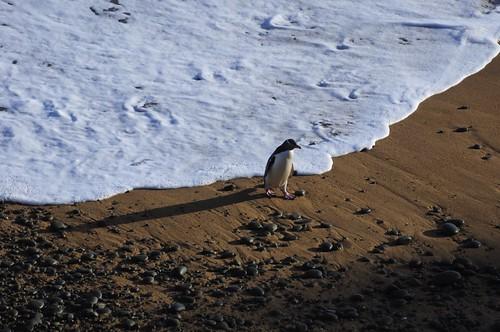 new newzealand wallpaper bird beach nature yellow penguin penguins wildlife zealand nz eyed aotearoa avian desktopwallpaper colony oamaru select shah bushy bushybeach antipodes saumil hoiho megadyptes megadyptesantipodes pingwing saumilshah