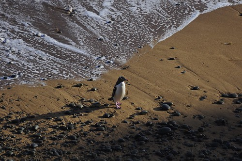 world new travel newzealand bird beach nature yellow penguin penguins wildlife zealand nz eyed aotearoa avian colony oamaru shah trekker bushy bushybeach antipodes saumil hoiho megadyptes megadyptesantipodes pingwing worldtrekker saumilshah