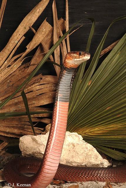 Red Spitting Cobra - Naja pallida