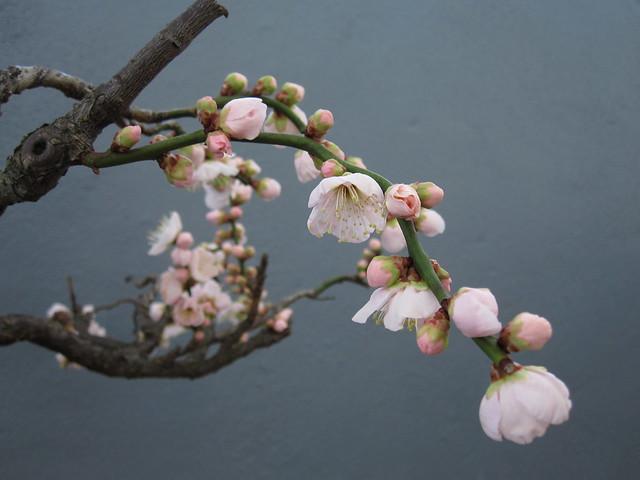 Prunus mume 'Andoh's White'