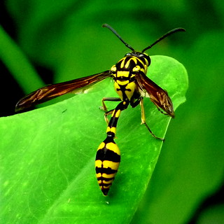 Wasp in low light | by Jkadavoor (Jee)