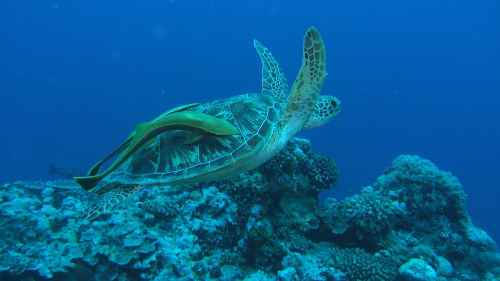 Turtle swimming by, Palau