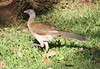 Gray-headed Chachalaca - Ortalis cinereiceps  by sail121j