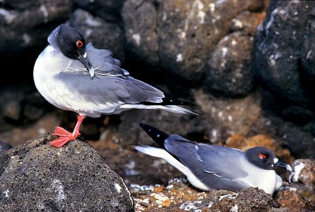 Galapagos, Creagrus furcatus