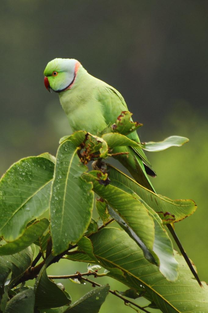Indian Ringneck Parrot C Vi Ko Vikas K All Rights Res Flickr