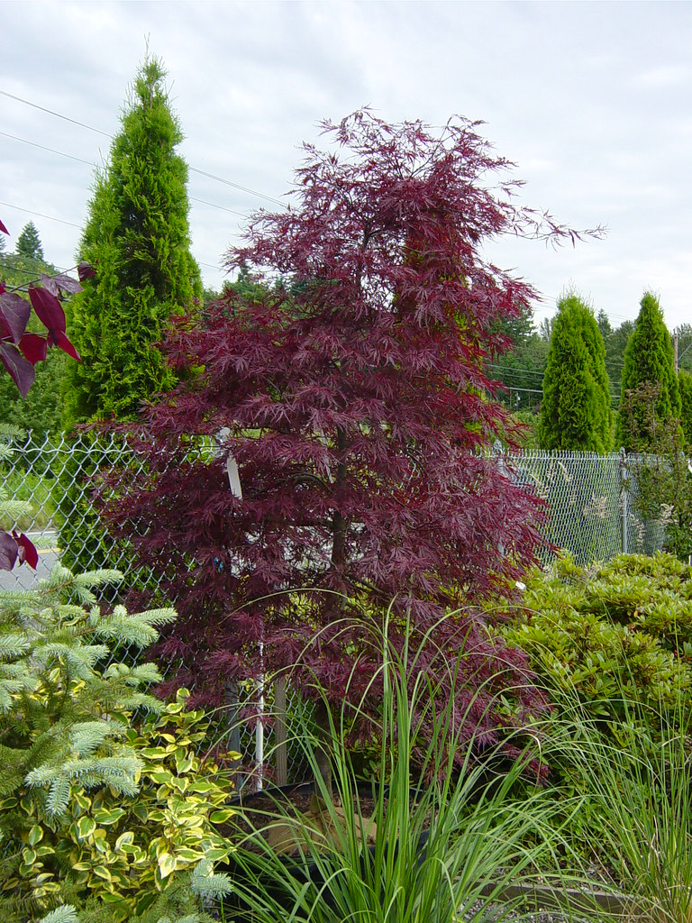 Acer Palmatum Dissectum Red Dragon Red Dragon Japanese M Flickr