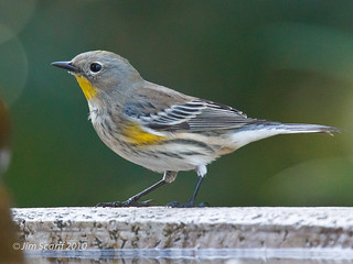 Yellow-rumped Warbler | by Jim Scarff