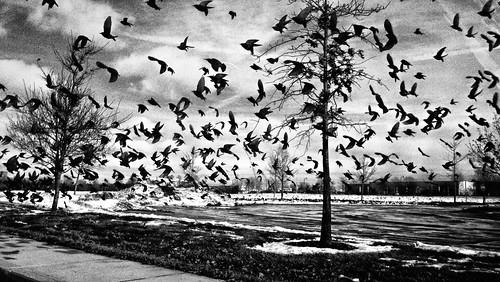 new ohio bw white snow black feeding pano highcontrast motorola albany alfred hitchcock crows blackbirds droid verizon discover droidx