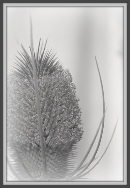 Flowering Teasel