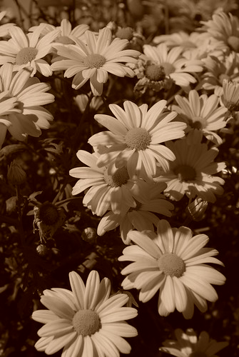Wild Daisies | by woodsygirl1