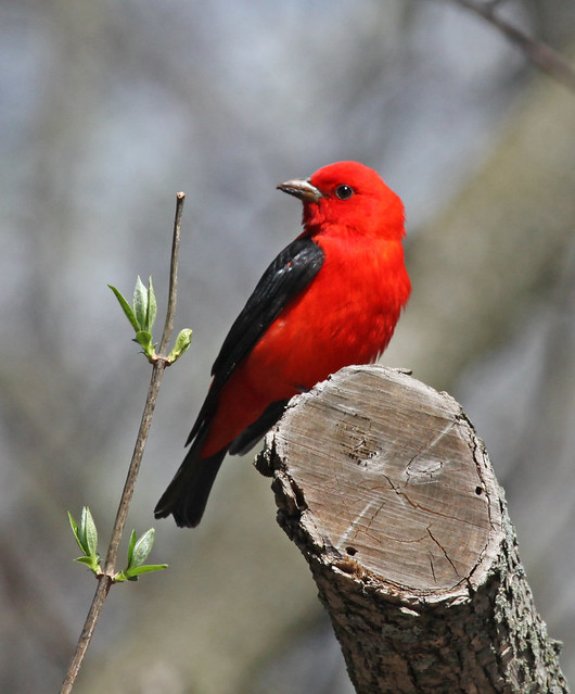 Scarlet Tanager Of Orchard Lake