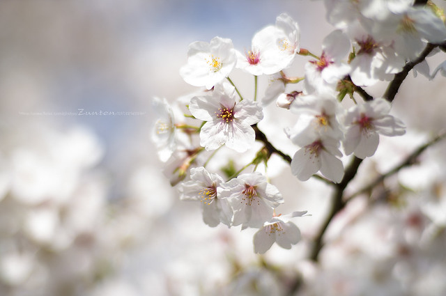 Cherry Blossoms, At Small Biotop