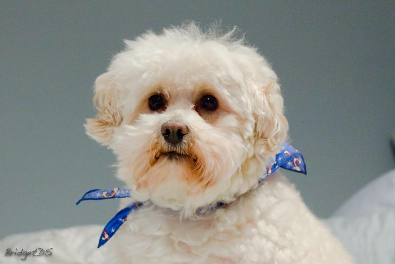 maltipoo moodle dog