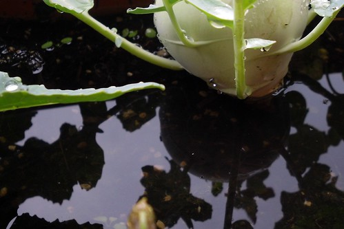 Kohlrabi reflection | by tillwe
