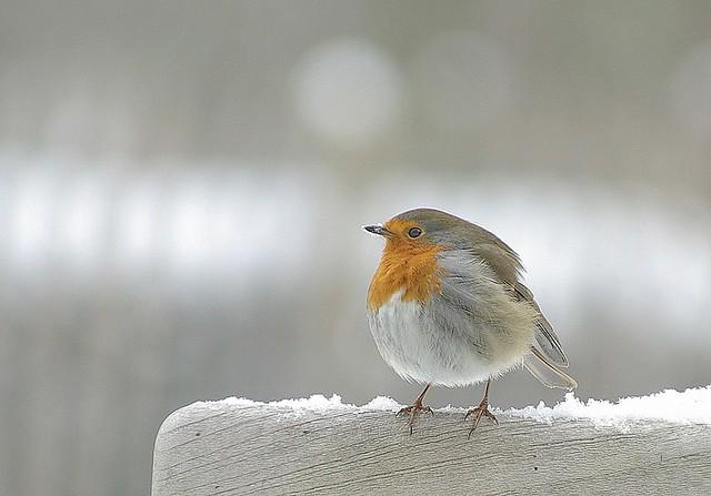Chilly robin